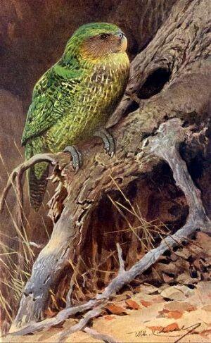 Strigops kakapo